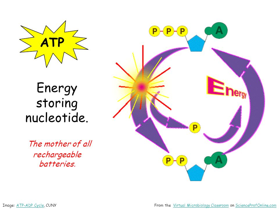 ATP Energy storing nucleotide.The mother of all rechargeable batteries.