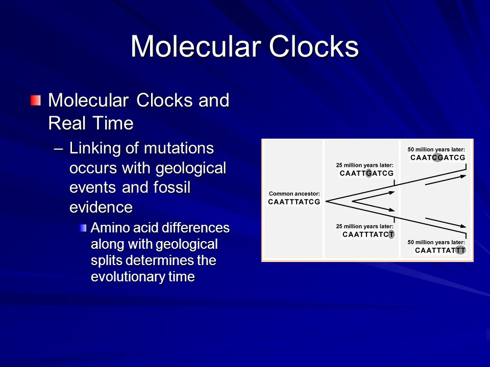 Molecular Clocks Molecular Clocks and Real Time –Linking of mutations occurs with geological events and fossil evidence Amino acid differences along w