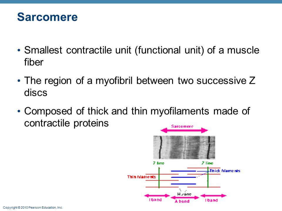 Copyright © 2010 Pearson Education, Inc. Sarcomere Smallest contractile unit (functional unit) of a muscle fiber The region of a myofibril between two