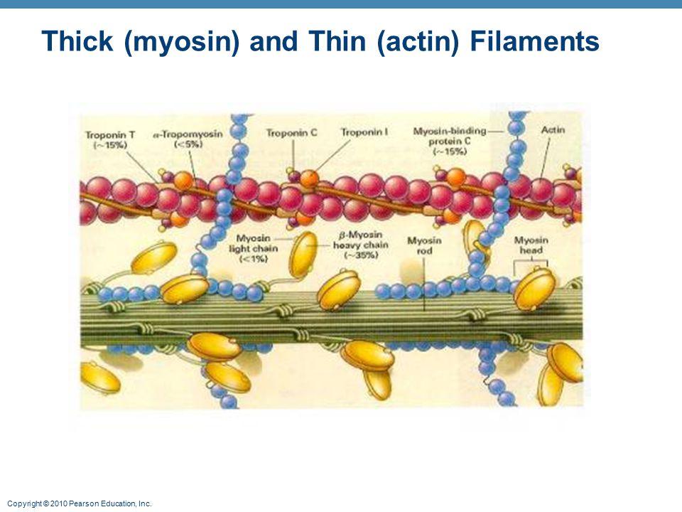 Copyright © 2010 Pearson Education, Inc. Thick (myosin) and Thin (actin) Filaments