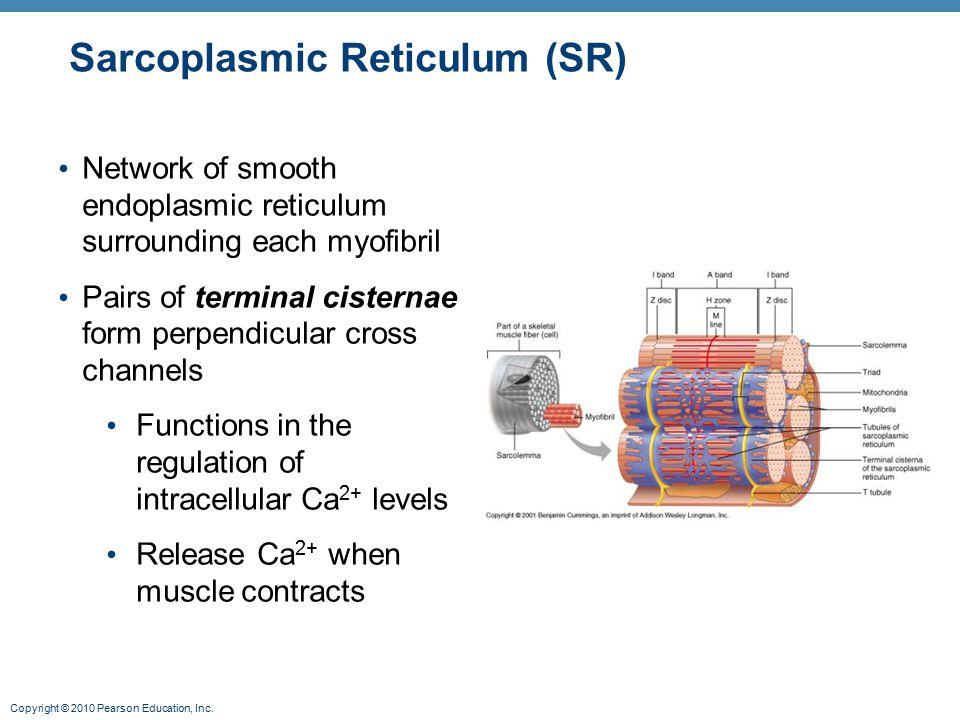 Copyright © 2010 Pearson Education, Inc. Sarcoplasmic Reticulum (SR) Network of smooth endoplasmic reticulum surrounding each myofibril Pairs of termi