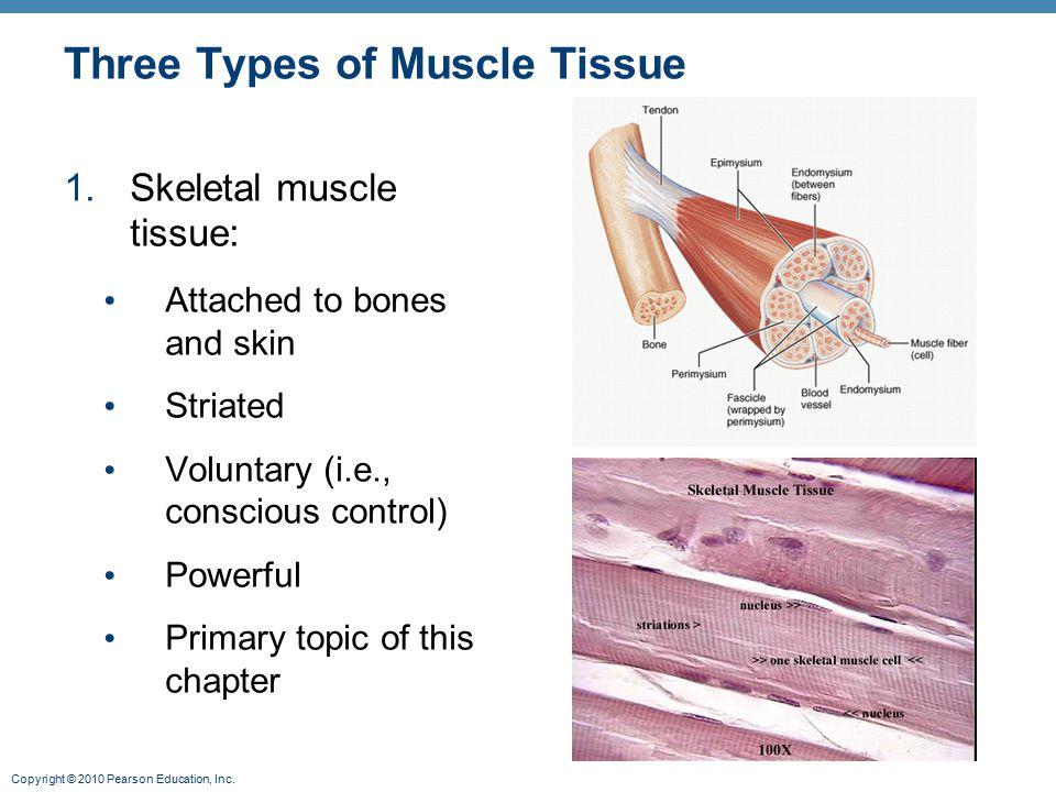 Copyright © 2010 Pearson Education, Inc. Three Types of Muscle Tissue 1.Skeletal muscle tissue: Attached to bones and skin Striated Voluntary (i.e., c