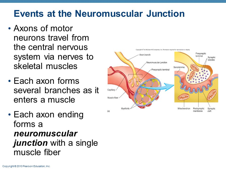 Copyright © 2010 Pearson Education, Inc. Events at the Neuromuscular Junction Axons of motor neurons travel from the central nervous system via nerves
