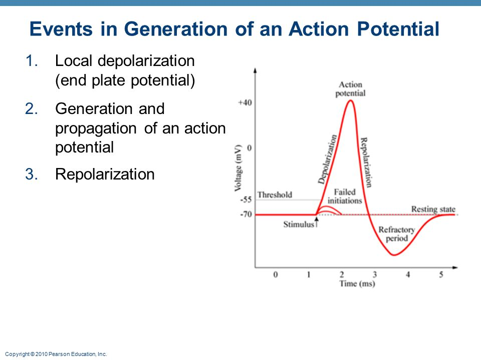 Copyright © 2010 Pearson Education, Inc. Events in Generation of an Action Potential 1.Local depolarization (end plate potential) 2.Generation and pro
