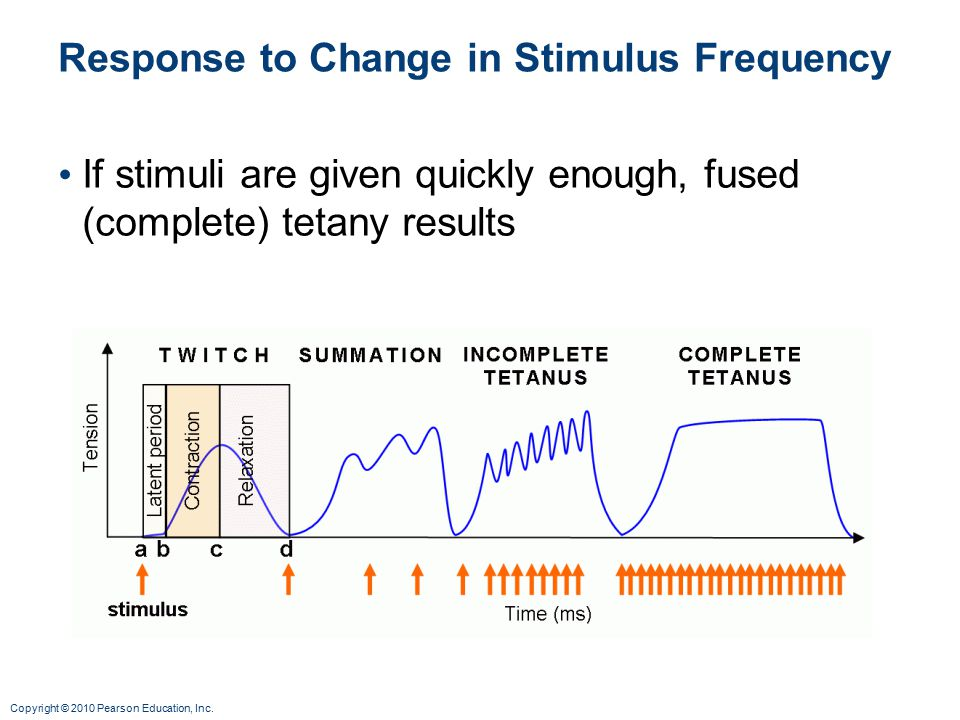 Copyright © 2010 Pearson Education, Inc. Response to Change in Stimulus Frequency If stimuli are given quickly enough, fused (complete) tetany results