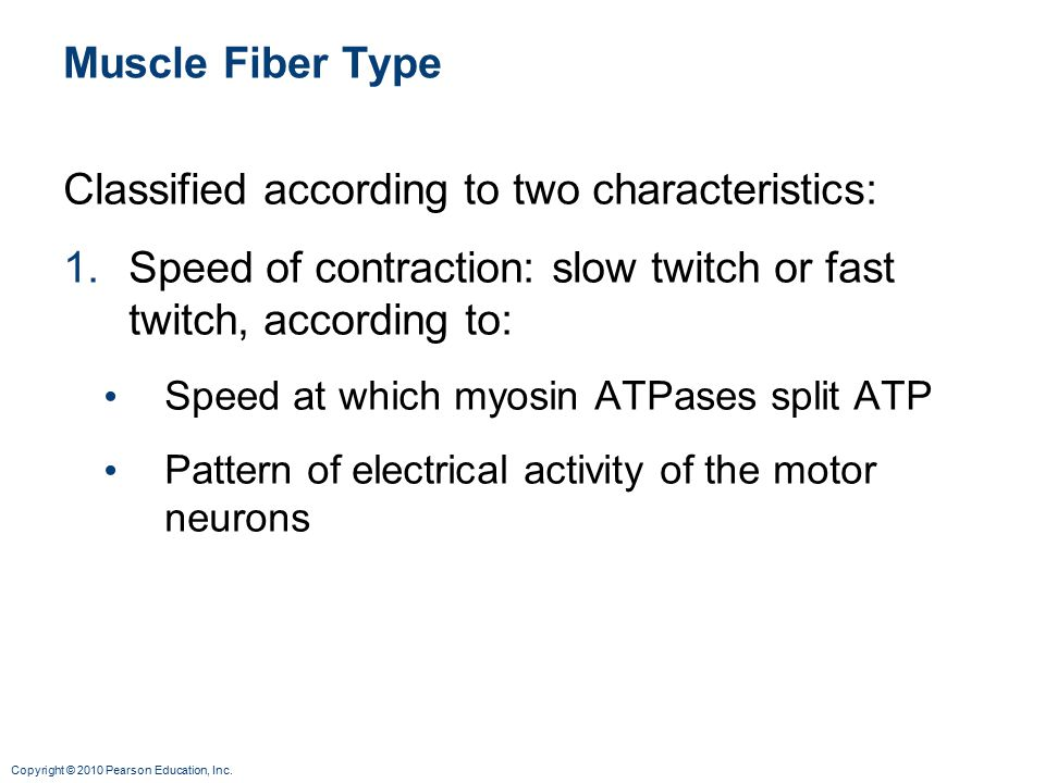 Copyright © 2010 Pearson Education, Inc. Muscle Fiber Type Classified according to two characteristics: 1.Speed of contraction: slow twitch or fast tw