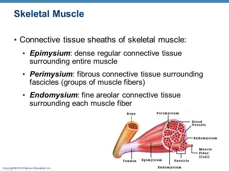 Copyright © 2010 Pearson Education, Inc. Skeletal Muscle Connective tissue sheaths of skeletal muscle: Epimysium: dense regular connective tissue surr