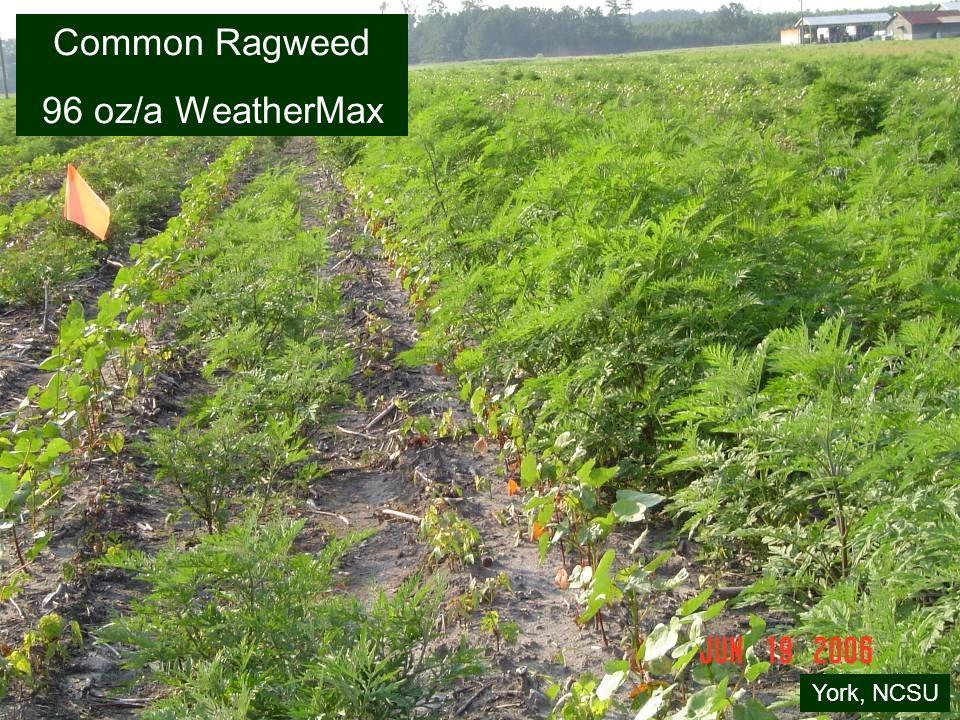 Common Ragweed 96 oz/a WeatherMax York, NCSU