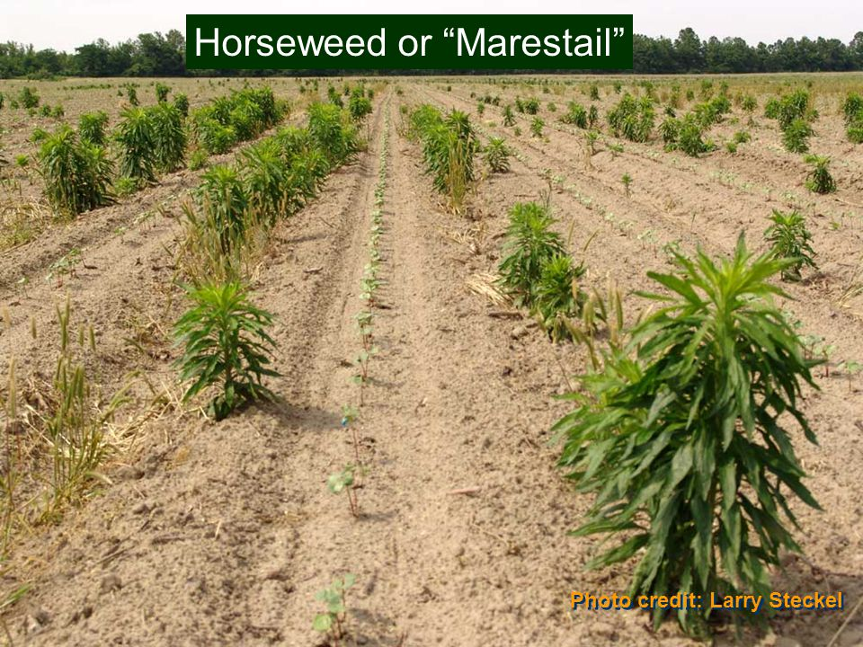 Photo credit: Larry Steckel Horseweed or Marestail
