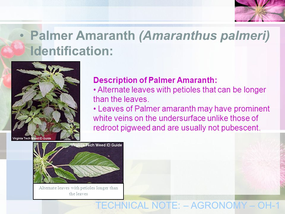 Palmer Amaranth (Amaranthus palmeri) Identification: Description of Palmer Amaranth: Alternate leaves with petioles that can be longer than the leaves.