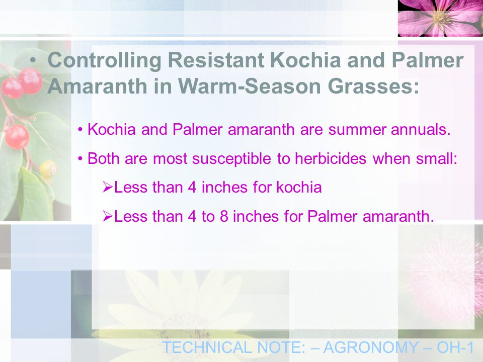 Controlling Resistant Kochia and Palmer Amaranth in Warm-Season Grasses: Kochia and Palmer amaranth are summer annuals.