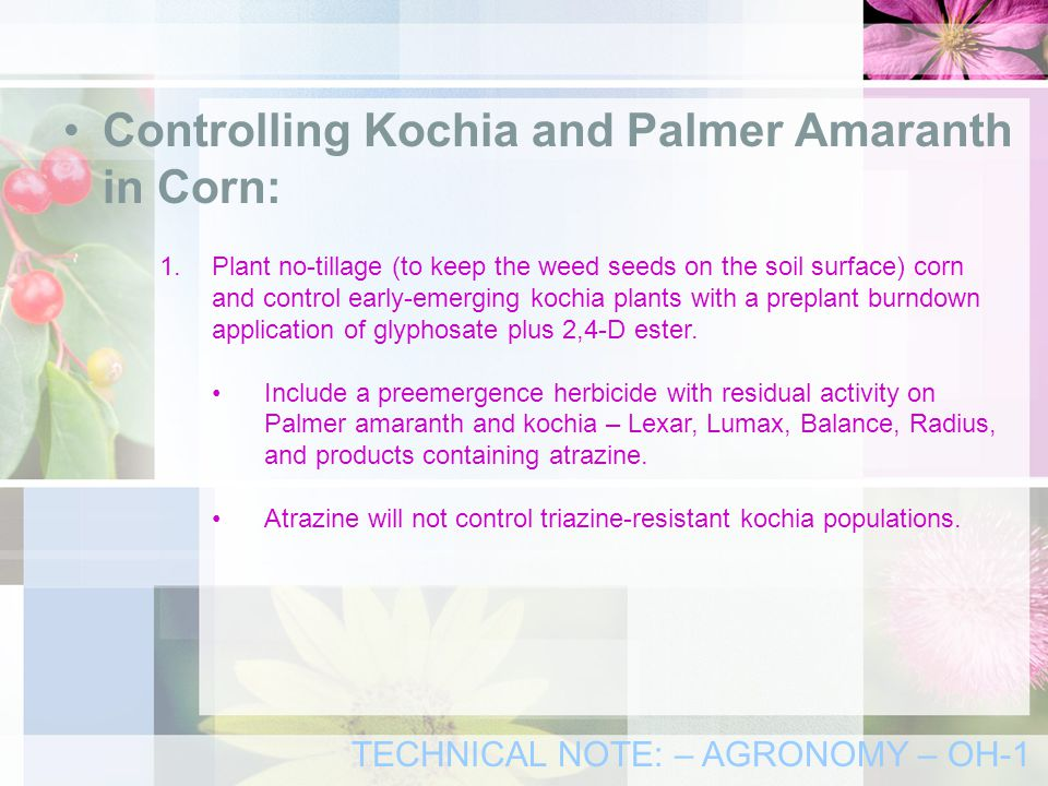 Controlling Kochia and Palmer Amaranth in Corn: 1.Plant no-tillage (to keep the weed seeds on the soil surface) corn and control early-emerging kochia plants with a preplant burndown application of glyphosate plus 2,4-D ester.