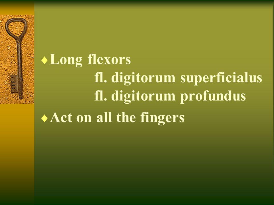  Long flexors fl. digitorum superficialus fl. digitorum profundus  Act on all the fingers