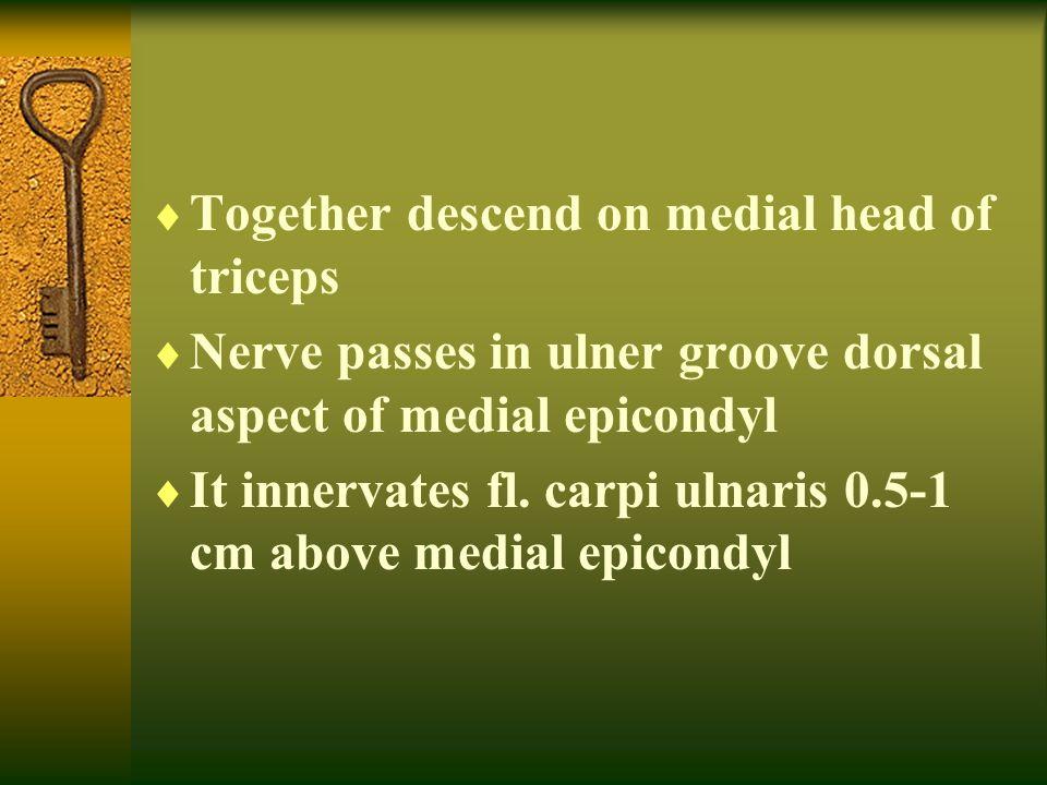  Together descend on medial head of triceps  Nerve passes in ulner groove dorsal aspect of medial epicondyl  It innervates fl. carpi ulnaris 0.5-1