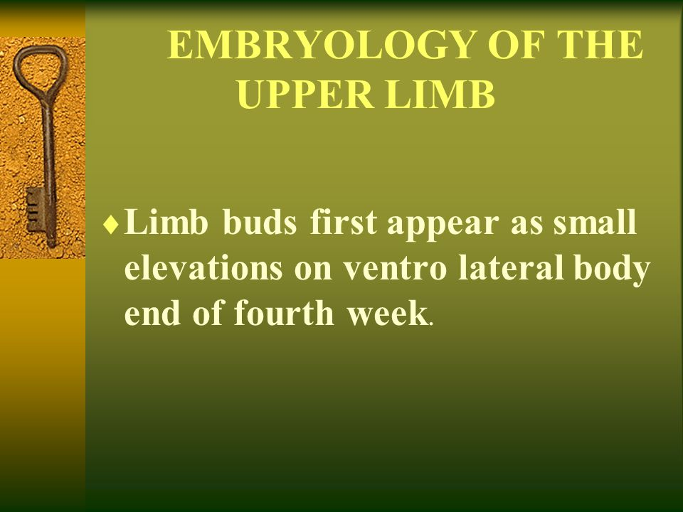 EMBRYOLOGY OF THE UPPER LIMB  Limb buds first appear as small elevations on ventro lateral body end of fourth week.