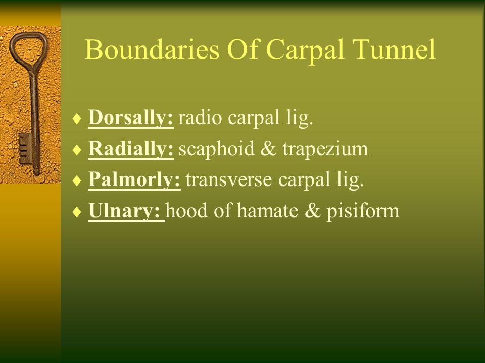 Boundaries Of Carpal Tunnel  Dorsally: radio carpal lig.  Radially: scaphoid & trapezium  Palmorly: transverse carpal lig.  Ulnary: hood of hamate