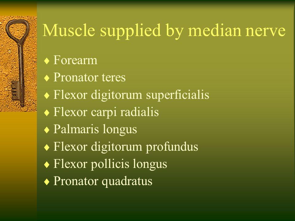 Muscle supplied by median nerve  Forearm  Pronator teres  Flexor digitorum superficialis  Flexor carpi radialis  Palmaris longus  Flexor digitor