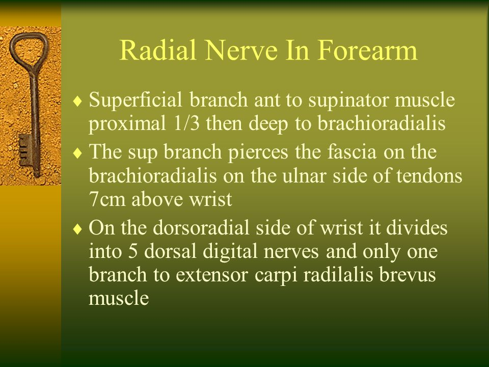 Radial Nerve In Forearm  Superficial branch ant to supinator muscle proximal 1/3 then deep to brachioradialis  The sup branch pierces the fascia on