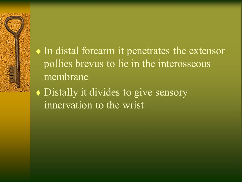  In distal forearm it penetrates the extensor pollies brevus to lie in the interosseous membrane  Distally it divides to give sensory innervation to