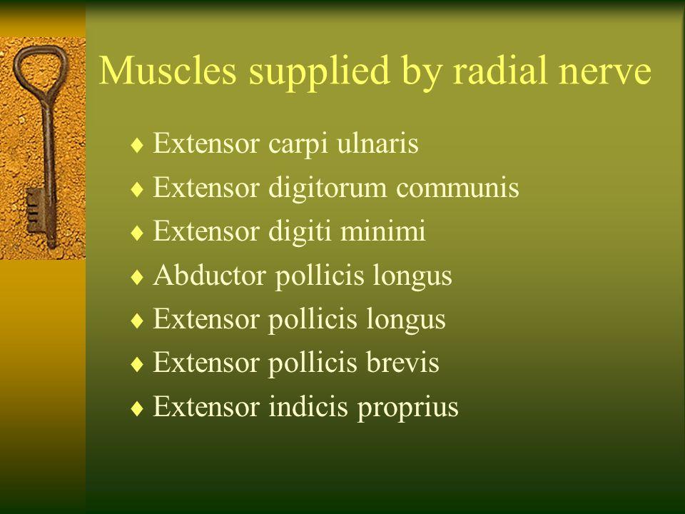 Muscles supplied by radial nerve  Extensor carpi ulnaris  Extensor digitorum communis  Extensor digiti minimi  Abductor pollicis longus  Extensor