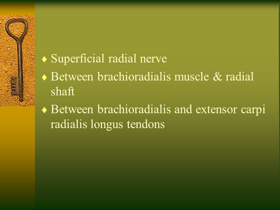  Superficial radial nerve  Between brachioradialis muscle & radial shaft  Between brachioradialis and extensor carpi radialis longus tendons