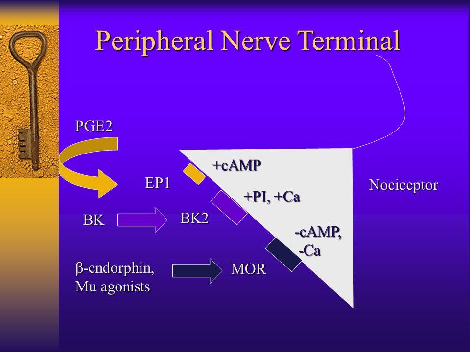 Peripheral Nerve Terminal Nociceptor EP1 BK2 MOR +cAMP +PI, +Ca -cAMP, -Ca -Ca PGE2 BK  -endorphin, Mu agonists