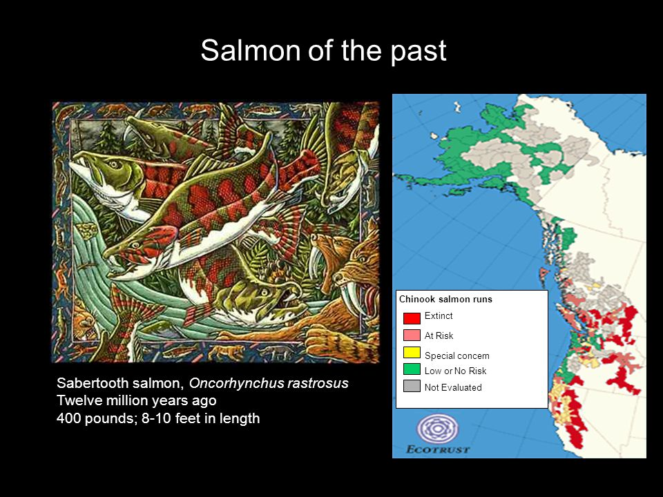 Salmon of the past Sabertooth salmon, Oncorhynchus rastrosus Twelve million years ago 400 pounds; 8-10 feet in length Chinook salmon runs Extinct At Risk Special concern Low or No Risk Not Evaluated