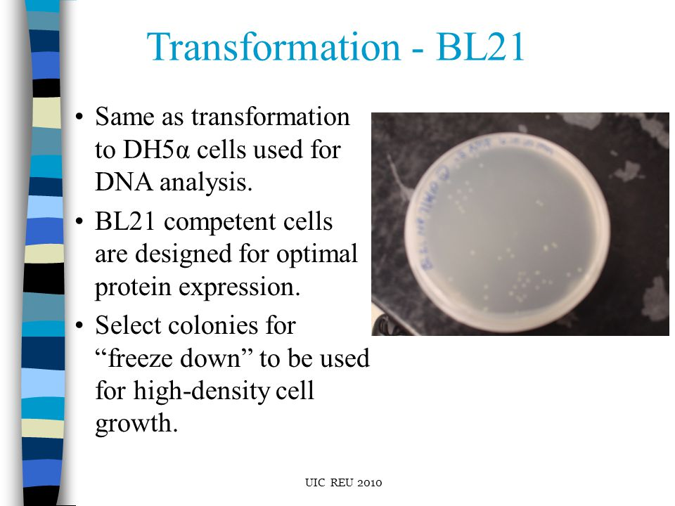 Transformation - BL21 Same as transformation to DH5α cells used for DNA analysis.