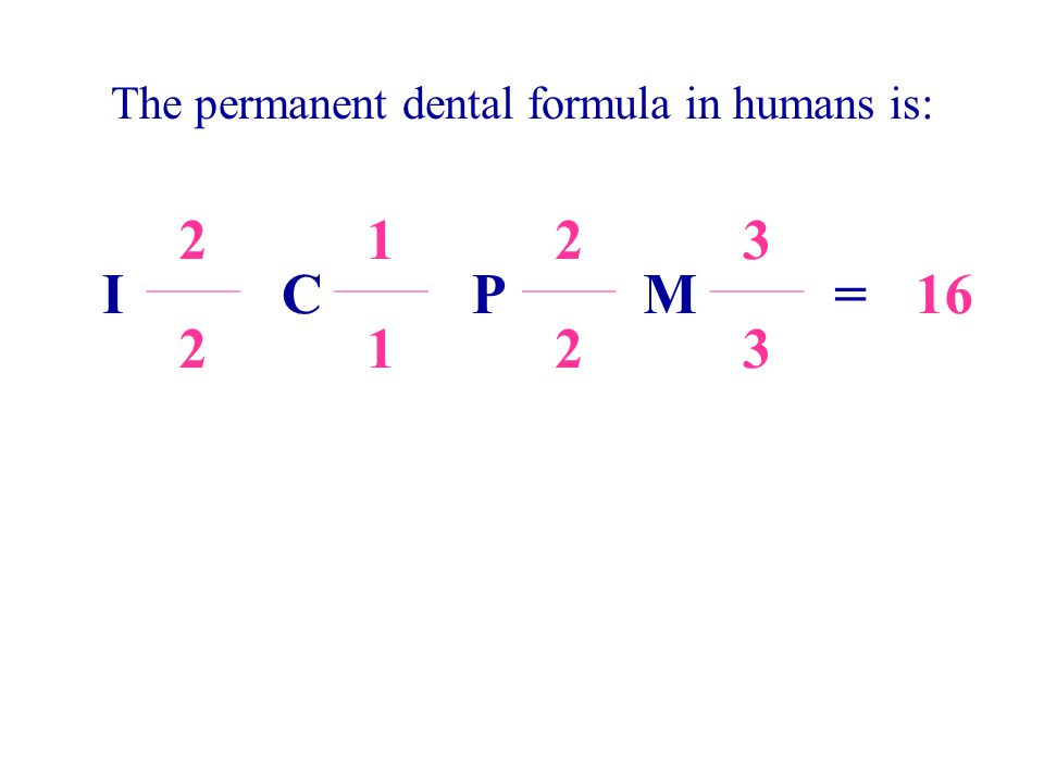 The permanent dental formula in humans is: I 2 C 1 P 2 M 3 =16 2123