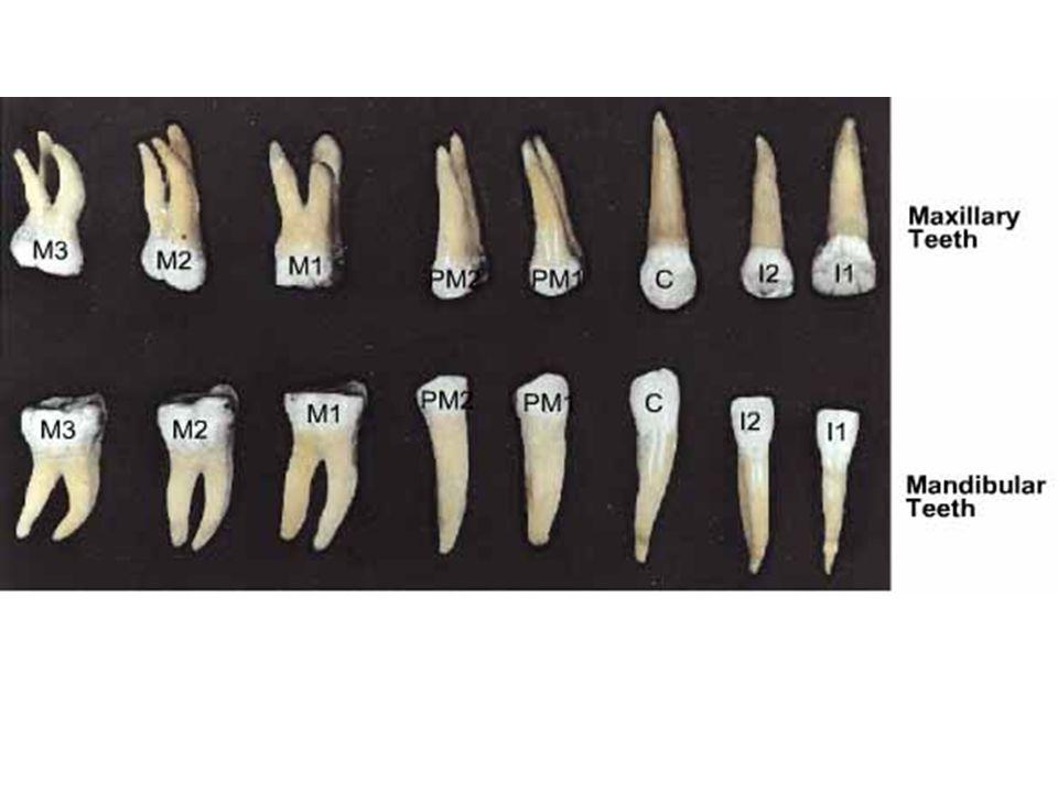 Permanent Dentition Maxillary Left TeethMaxillary Right Teeth 21 3 4 Madibular Left TeethMandibular Right Teeth
