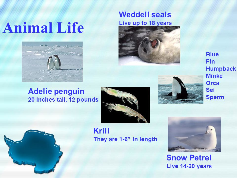 "Animal Life Adelie penguin 20 inches tall, 12 pounds Weddell seals Live up to 18 years Snow Petrel Live 14-20 years Krill They are 1-6"" in length Blue"