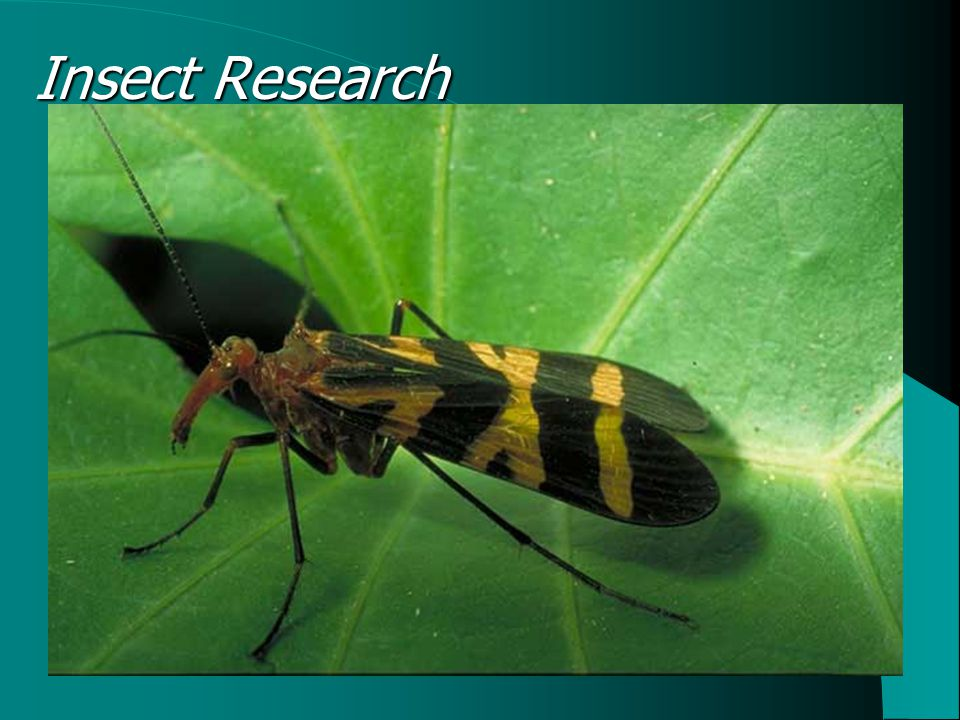 Insect Research Wing perching in the damselfly Panorpa scorpionfly (Thornhill, 1980)  Three mating strategies