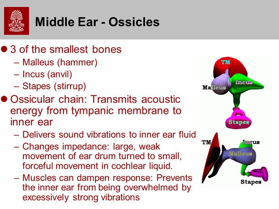 Middle Ear - Ossicles 3 of the smallest bones –Malleus (hammer) –Incus (anvil) –Stapes (stirrup) Ossicular chain: Transmits acoustic energy from tympanic membrane to inner ear –Delivers sound vibrations to inner ear fluid –Changes impedance: large, weak movement of ear drum turned to small, forceful movement in cochlear liquid.