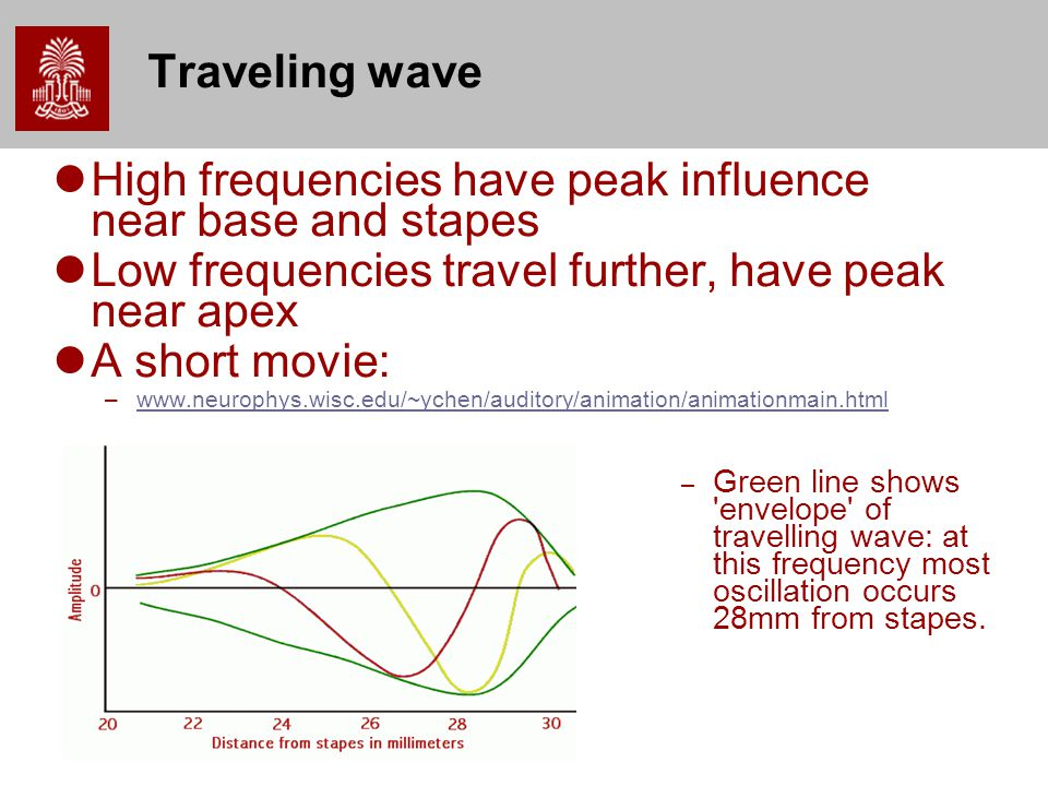 Traveling wave High frequencies have peak influence near base and stapes Low frequencies travel further, have peak near apex A short movie: –www.neurophys.wisc.edu/~ychen/auditory/animation/animationmain.htmlwww.neurophys.wisc.edu/~ychen/auditory/animation/animationmain.html – Green line shows envelope of travelling wave: at this frequency most oscillation occurs 28mm from stapes.