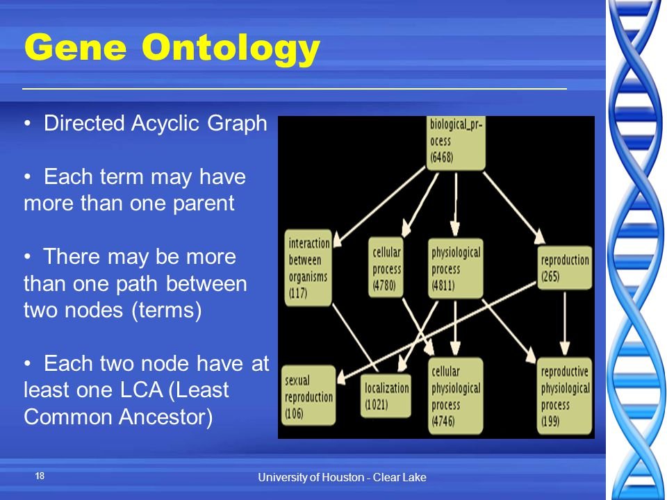 University of Houston - Clear Lake 18 Gene Ontology Directed Acyclic Graph Each term may have more than one parent There may be more than one path between two nodes (terms) Each two node have at least one LCA (Least Common Ancestor)