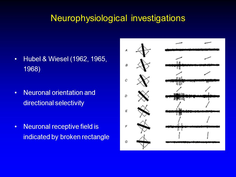 Neurophysiological investigations Hubel & Wiesel (1962, 1965, 1968) Neuronal orientation and directional selectivity Neuronal receptive field is indic