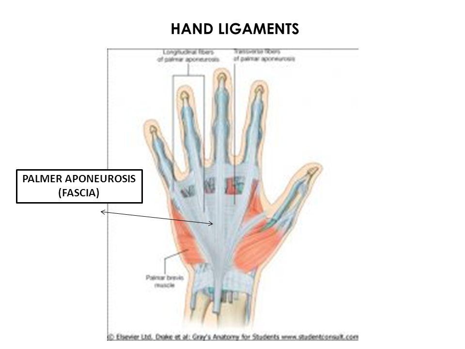 HAND LIGAMENTS PALMER APONEUROSIS (FASCIA)