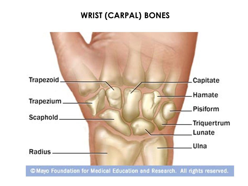 Flexor Carpi Ulnaris O-Medial epicondyle of the humerus I-Base 5 th metacarpal, pisiform A-Wrist flexion, ulnar deviation N-Ulnar V-Ulnar artery Superficial Jen33