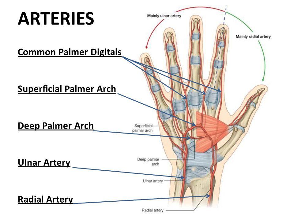 ARTERIES Common Palmer Digitals Superficial Palmer Arch Deep Palmer Arch Ulnar Artery Radial Artery