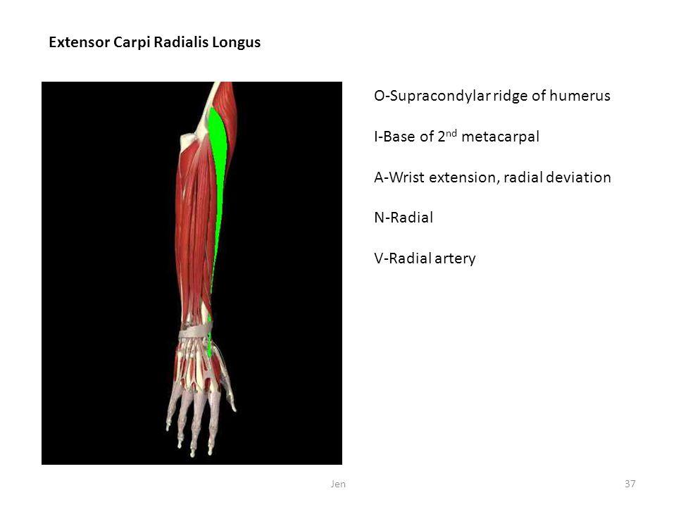 Extensor Carpi Radialis Longus O-Supracondylar ridge of humerus I-Base of 2 nd metacarpal A-Wrist extension, radial deviation N-Radial V-Radial artery