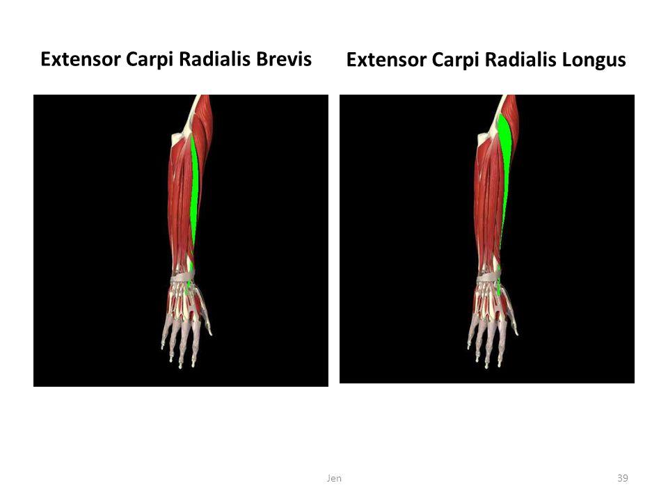 Extensor Carpi Radialis Brevis Extensor Carpi Radialis Longus Jen39
