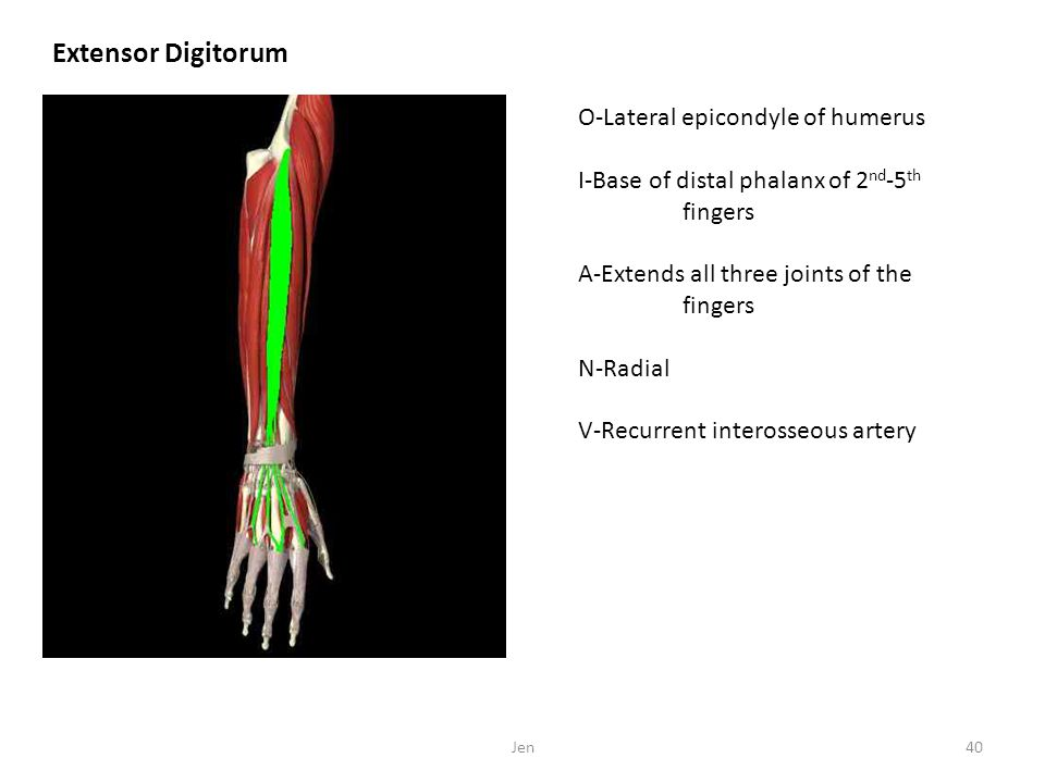 Extensor Digitorum O-Lateral epicondyle of humerus I-Base of distal phalanx of 2 nd -5 th fingers A-Extends all three joints of the fingers N-Radial V