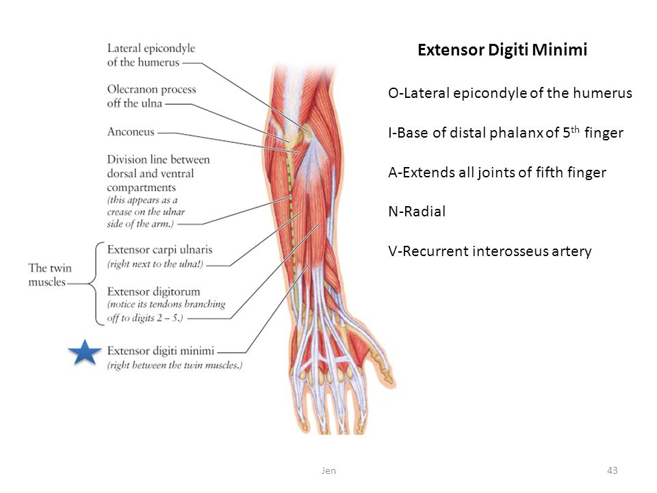 O-Lateral epicondyle of the humerus I-Base of distal phalanx of 5 th finger A-Extends all joints of fifth finger N-Radial V-Recurrent interosseus arte