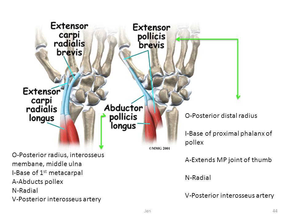 O-Posterior distal radius I-Base of proximal phalanx of pollex A-Extends MP joint of thumb N-Radial V-Posterior interosseus artery O-Posterior radius,