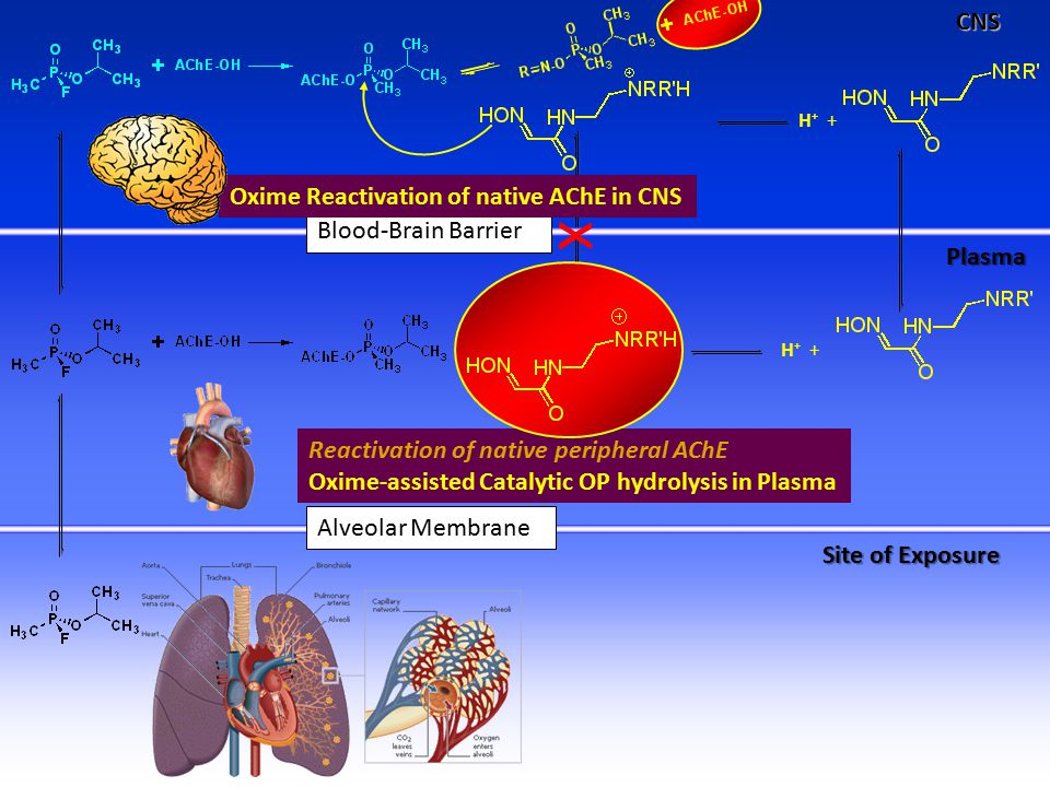 Reactivation of native peripheral AChE Oxime-assisted Catalytic OP hydrolysis in PlasmaCNSPlasma Site of Exposure Alveolar Membrane Blood-Brain Barrier x
