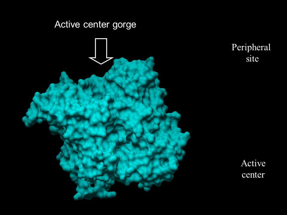 Peripheral site Active center Active center gorge