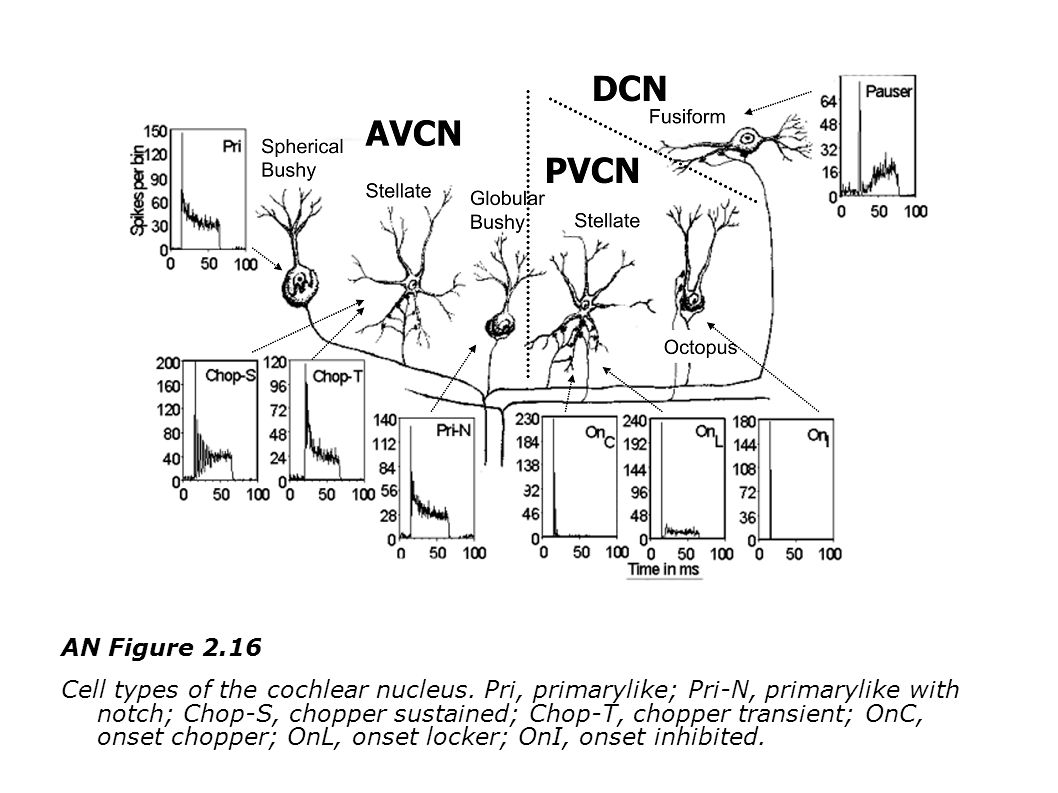 AN Figure 2.16 Cell types of the cochlear nucleus.