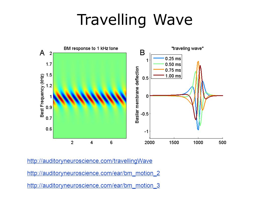 Travelling Wave http://auditoryneuroscience.com/travellingWave http://auditoryneuroscience.com/ear/bm_motion_3 http://auditoryneuroscience.com/ear/bm_motion_2