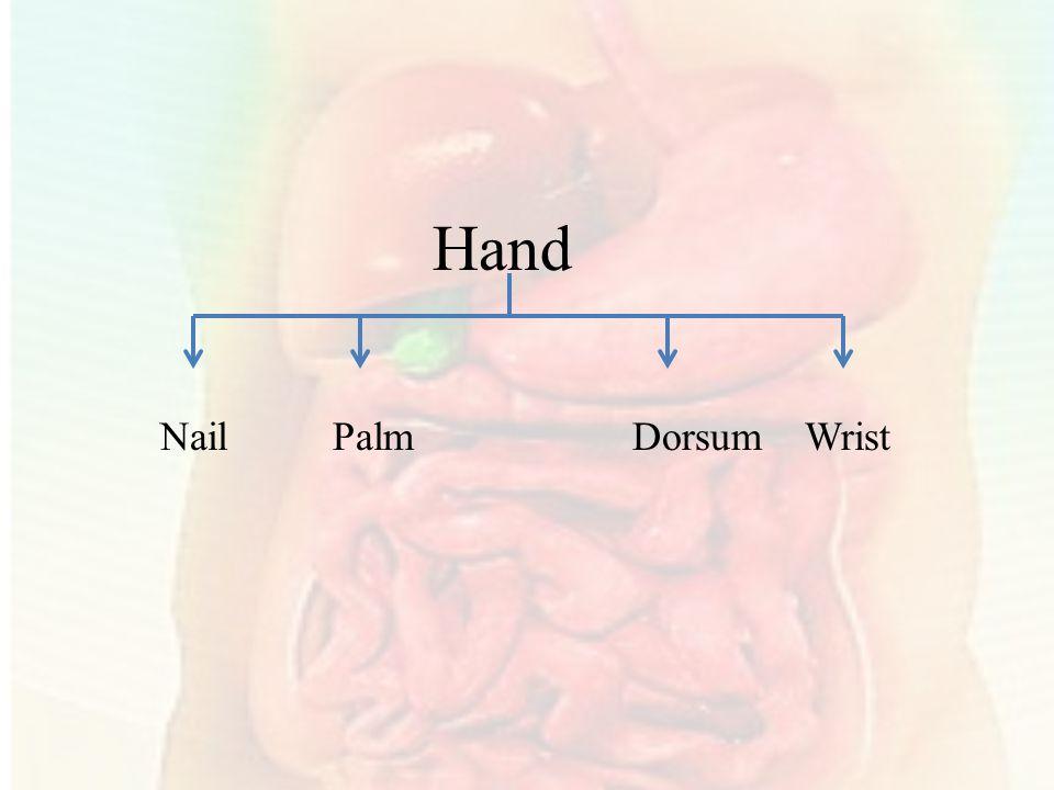Hand Nail Palm Dorsum Wrist