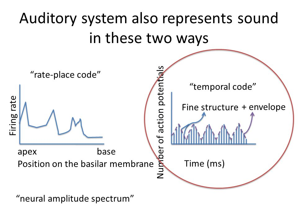 """Auditory system also represents sound in these two ways Position on the basilar membrane baseapex Firing rate """"rate-place code"""" Number of action poten"""